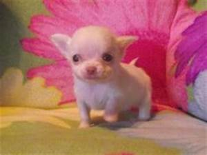 Chihuahua Puppy's on Pinterest | Newborn Puppies, Teacup ...