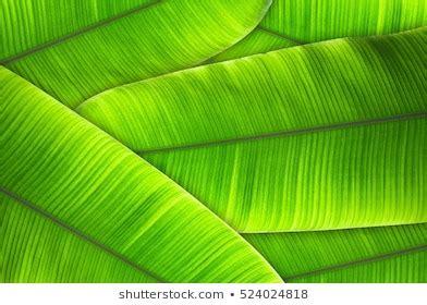banana leaves images stock  vectors shutterstock