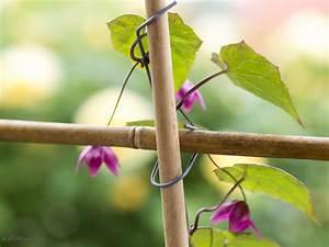 Wie Schnell Wächst Bambus : rankhilfen aus bambus ganz einfach und preiswert selbst gemacht ~ Frokenaadalensverden.com Haus und Dekorationen