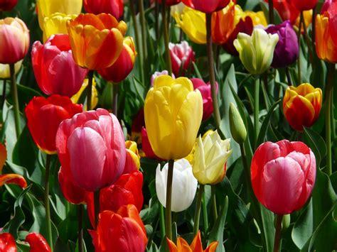 amsterdamse bloemen tulpen gratis foto tulpen tulpenbluete bloemen gratis