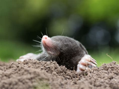 How To Get Rid Of Moles In The Yard And Garden Gardensall