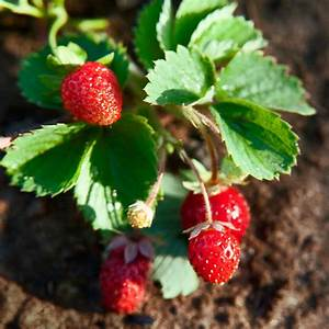 Caring for Strawberry Plants - How to Grow Strawberries ...