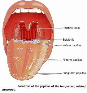 The gallery for --> Parts Of The Tongue And Their Functions