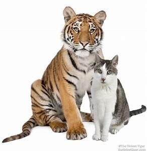 wild tigers | The Tiniest Tiger Cat Community