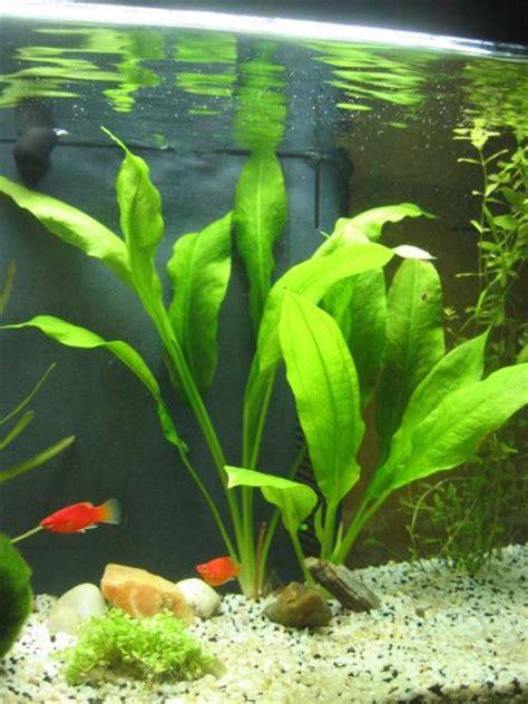 plante d aquarium d eau douce le tour de l aquariophilie grande plante et platys album de platy