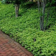 fast growing groundcover  great  sunny slopes
