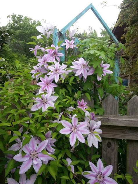 Clematis Trellis by Clematis On Trellis Flowers At S
