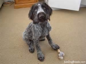 fritz german wirehaired pointer dog breeds
