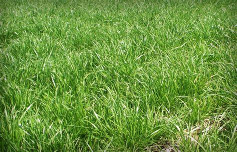 annual grass annual ryegrass covercrop com