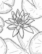 Coloring Lily Water Monet Flower Drawing Pages Printable Adult Claude Stargazer Painting Lilies Sheets Templates Flowers Tiger Waterlily Pencil Getdrawings sketch template