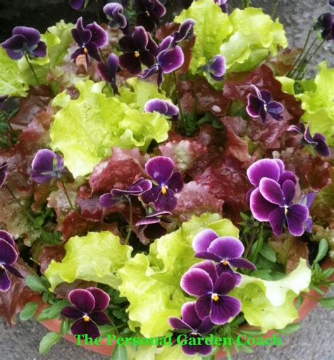 edible ornamental plants 17 best images about spring surprises container gardening on pinterest gardens kale and