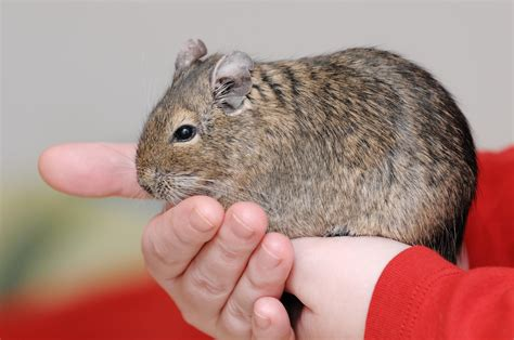 how to care for a pet degu