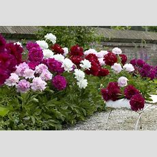 Exotic Looking Fragrant Garden Peony Plants Collection