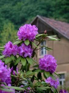 Wann Blüht Der Rhododendron : rhododendron umpflanzen vorgehensweise garten mix ~ Eleganceandgraceweddings.com Haus und Dekorationen