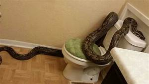 texas woman finds 12 foot python in bathroom fox news With snake in bathroom