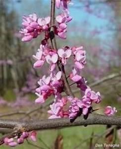 Kleiner Baum Mit Breiter Krone : strauch shrub sunshine seeds exotische samen ~ Michelbontemps.com Haus und Dekorationen