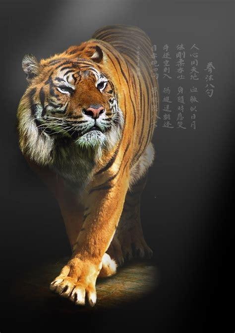 tiger  beautiful animal  favorite beautiful animals