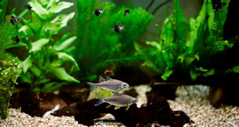freshwater fish  small tanks