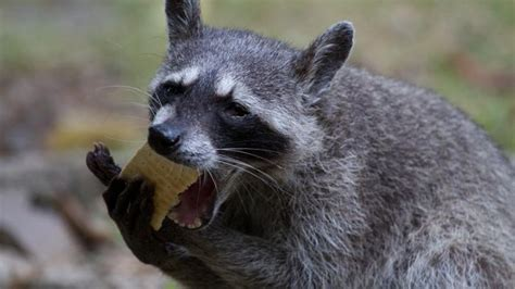 what do raccoons eat reference com
