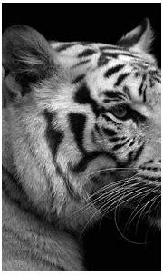 white tigers wallpapers - HD Desktop Wallpapers | 4k HD