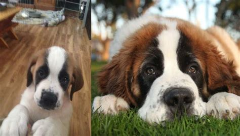 11 Things That You Have To Endure Of Your Saint Bernard