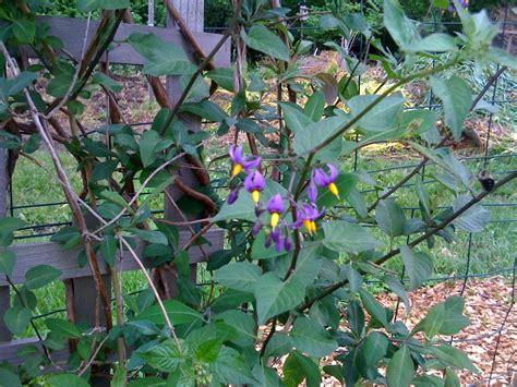 purple flowered vine sunday photos flowers in the vegetable garden gradually greener