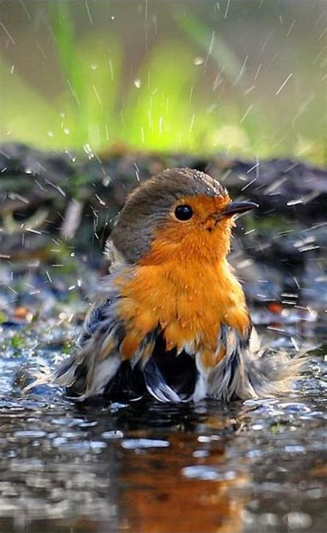 european red robin taking a bath to clean its feathers