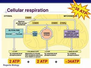 How To Describe The Cellular Respiration In Plants