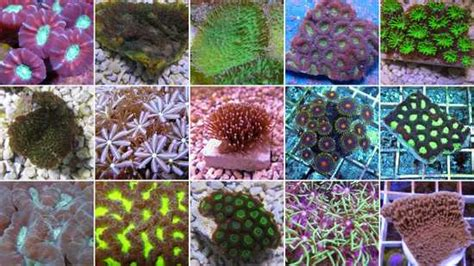 Assorted Coral Frag
