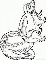 Skunk Coloring sketch template