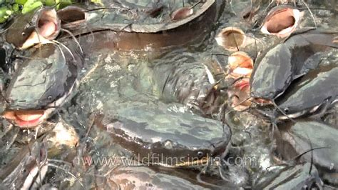 hungry gapes  indian catfish ugliest fish  earth