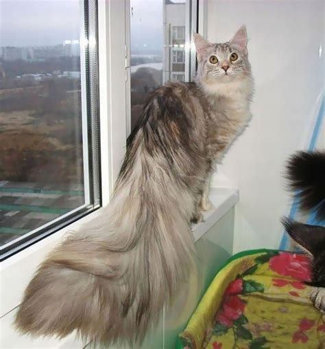 huge maine coon cats     kitty