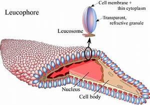 Leucophores