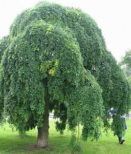 Arbre à Croissance Rapide Pour Ombre : des petits arbres pour petits jardins jardin du sens ~ Premium-room.com Idées de Décoration