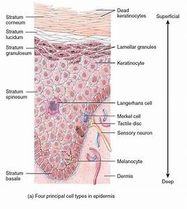 Integumentary  And Musculoskeletal Systems