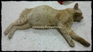 what is fip in cats lalalaland feline infectious peritonitis fip