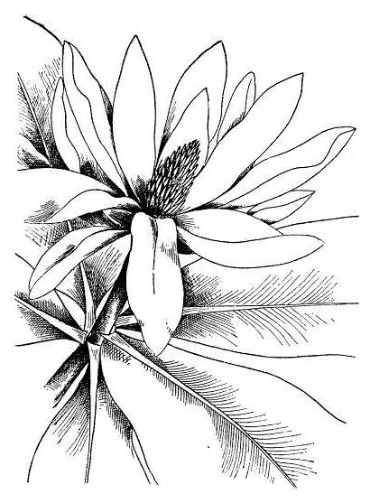 Watercolor Coloring Pages Magnolia Printable Flowers Adults