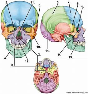 Skull Bones Quiz  Cranial And Facial Bones