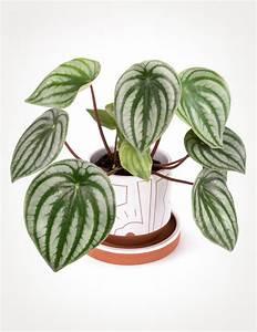 Pilea Pflanze Kaufen : peperomia argyreia watermelon peperomia pistils nursery ~ Michelbontemps.com Haus und Dekorationen