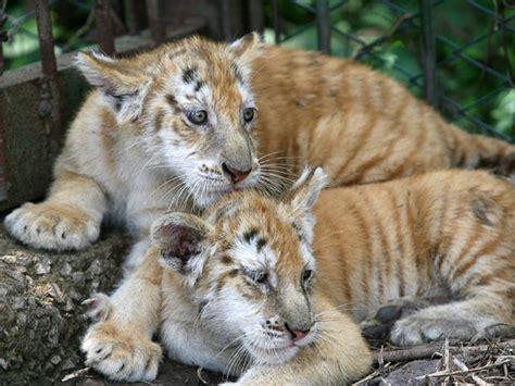 Cat Species Rarest The World Sigungloncat Blog
