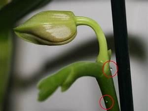 Orchidee Klebrige Tropfen : klebrige tropfen an orchideen was tun orchideenfans blog ~ Lizthompson.info Haus und Dekorationen