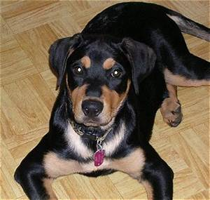 Reagle (Rottweiler X Beagle Mix) Info, Temperament ...