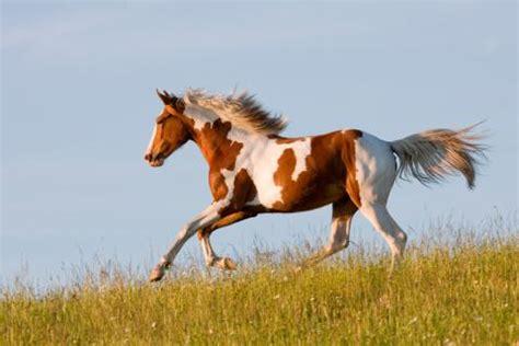 caballo pinto caracteristicas  origen