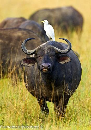 cattle egret riding buffalo lake nakuru kenyase