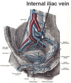 common iliac veins forming ivc internal iliac vein wikipedia