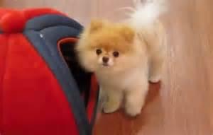 Dog Breeds Pomeranian Boo