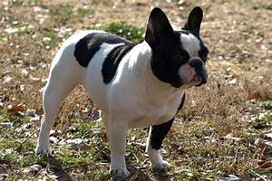 The gallery for --> Black And White French Bulldog