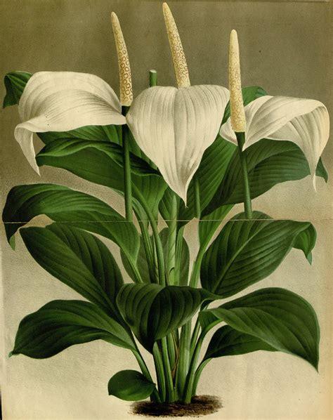 Giftige Zimmerpflanzen Für Katzen by Spathiphyllum