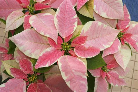 poinsettia pink pink poinsettia by ron dahlquist printscapes