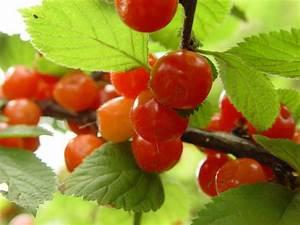Planter Un Cerisier : merisier ou cerisier sauvage prunus avium plantation ~ Melissatoandfro.com Idées de Décoration